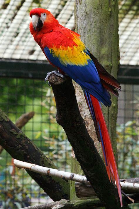 imagenes de lapas rojas papagei wiktionary