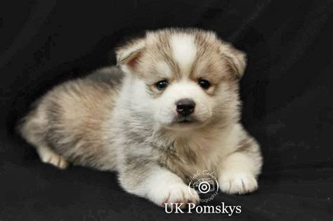 pomsky puppies for sale in puppies pomsky puppies for sale pets for sale pomsky puppies and puppys