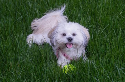 lifespan of a shih tzu 5 breeds that are known for a span