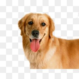 medium sized golden retriever golden retriever png transparent golden retriever png images pluspng