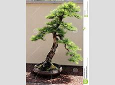 The Pine Bonsai Royalty Free Stock Images - Image: 34497639 X 23