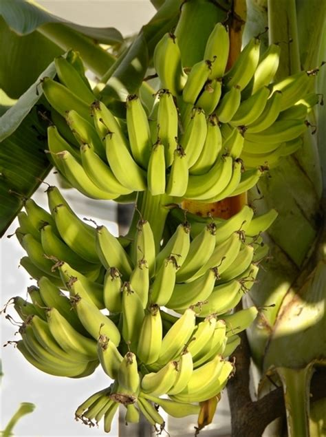 bananas on tree banana musa acuminata musa balbisiana health and