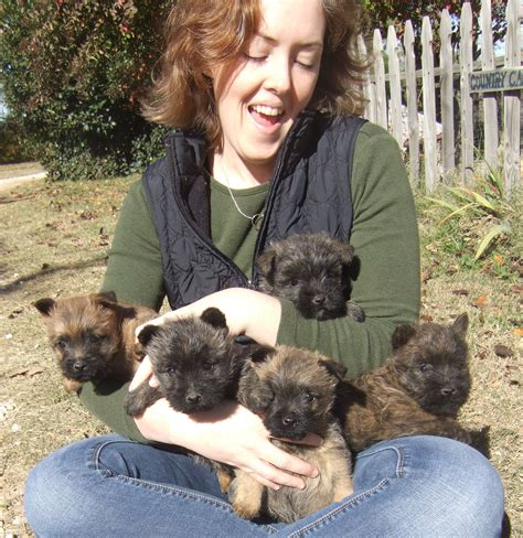 free cairn terrier puppies sheras litter of 5 at almost 7 wks wits end ranch