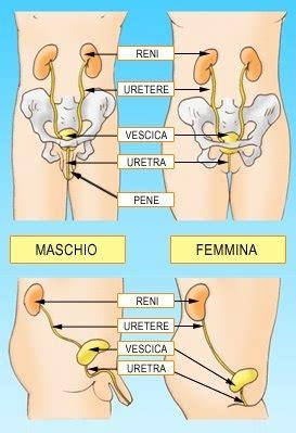 infiammazione pavimento pelvico sistema escretore lessons tes teach