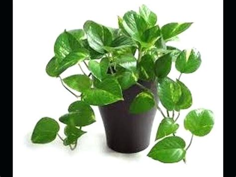 common house plants common indoor plants arrowhead vine common indoor plants with names dynamicpeople club