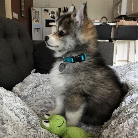 grown husky pomeranian mix norman the pomeranian husky mix one puppy that will melt your