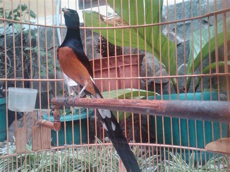 Ternak Murai Batu Medan Asli jual burung murai batu medan asli ekor panjang