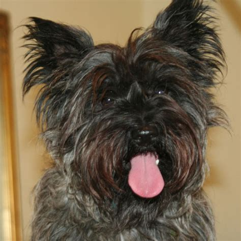 hair cuts for cairns terriers cairn terrier cut styles hairstylegalleries com