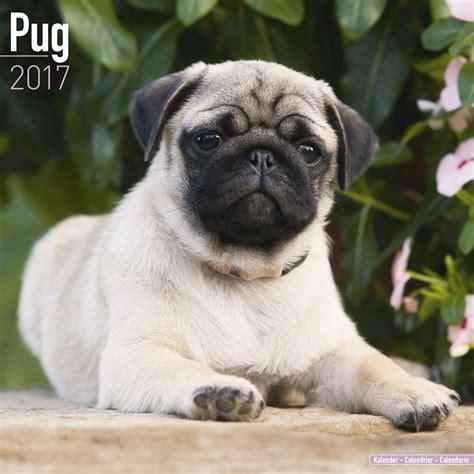 pug puppy calendar pug calendar 2017 10062 17 pug breeds