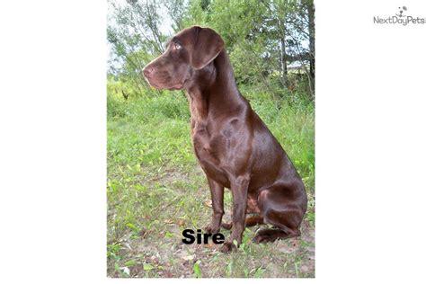 lab puppies for sale in michigan 200 labrador retriever puppy for sale near peninsula michigan 28c89bb3 66f1