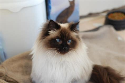 cutest breeds breeds of cats