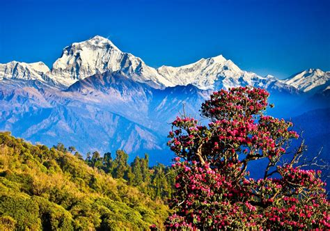 flowering tree in the himalayas wallpapers and images
