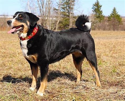 appenzeller sennenhund puppies appenzeller sennenhunde breed information pictures characteristics facts