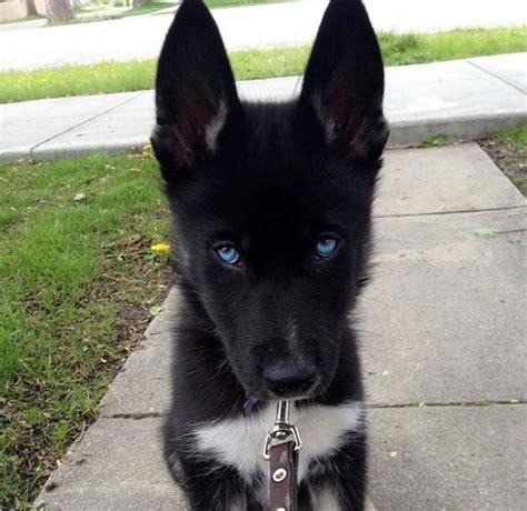 black husky puppies the world s catalog of ideas