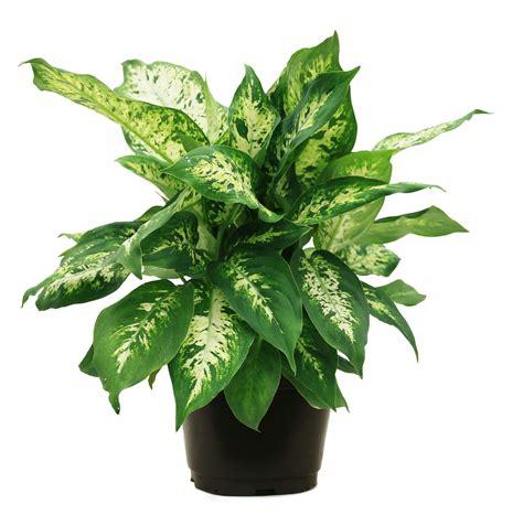 delray plants dieffenbachia dumb cane  houseplant