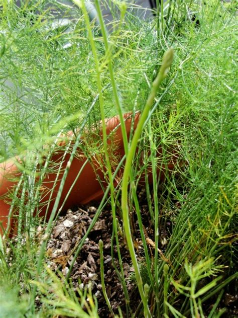 growing asparagus in containers - Asparagus Container Gardening