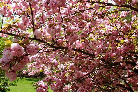 file flowering pink tree grass west virginia forestwander jpg