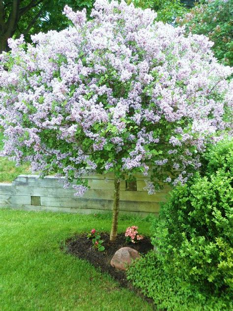 lilac tree lilac tree gardening landscaping home exteriors