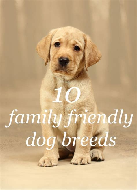 family friendly dogs 1000 ideas about family friendly dogs on breeds setter and