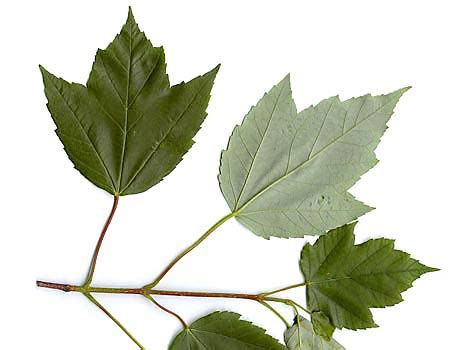 maple tree leaf shape how to identify maple trees waterford citizens association wca of waterford virginia
