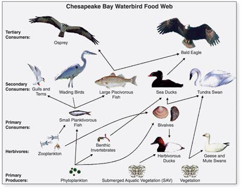 chesapeake bay food web diagram food chain