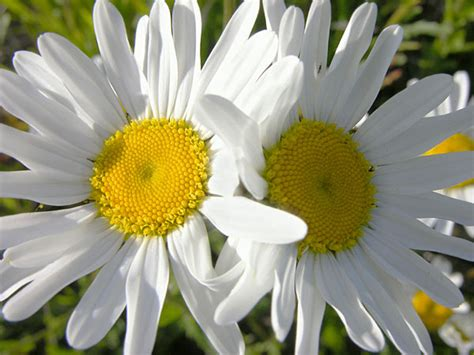 foto di fiori bianchi fiori bianchi fiori di co fotografie fiori foto