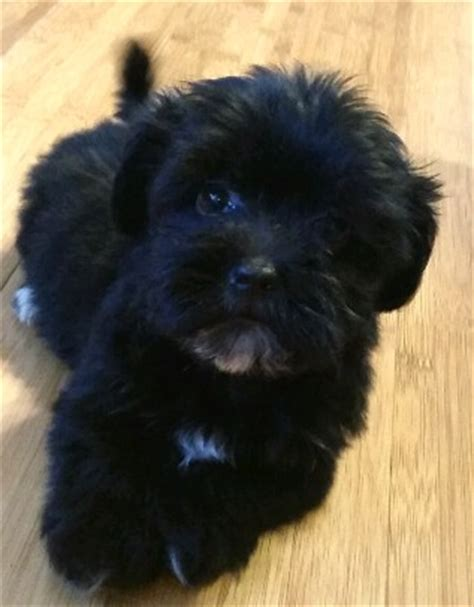 black havanese black and white havanese puppy www pixshark images galleries with a bite