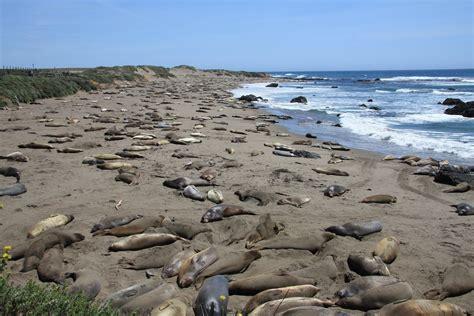 california turisti per caso foche sulla spiaggia a san simeon california viaggi