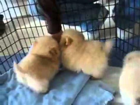 pomeranian pregnancy week by week 8 week pomeranian puppies