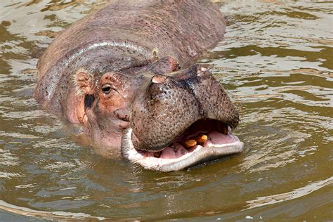 what color is hippo milk link 32 hippos give pink milk facts you need to