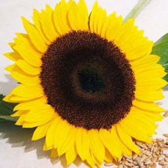 Bijibenihbibit Bunga Golden Lupine bibit sunflower golden petals