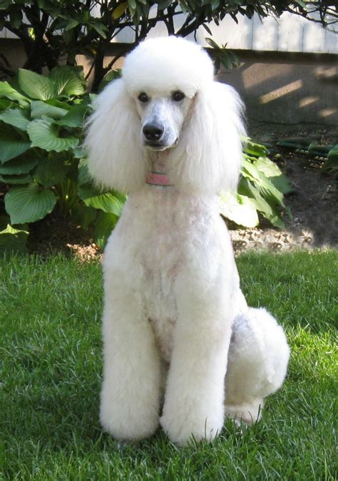 white poodle puppies beautiful standard poodle looks like my sons except his wears a mohawk