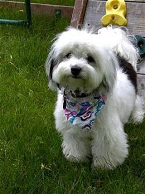 teddy havanese havanese adults with puppy cut www pixshark images galleries with a bite