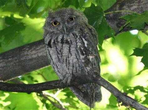 wisconsin owls identification backyard bird identification owls hawks osprey vulture bald eagle