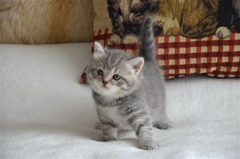 For Cats by Gorgeous Scottish Fold Kitten Available