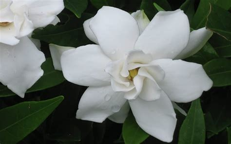 Gardenia Proof Buy Proof Gardenia Gardenia Jasminoides