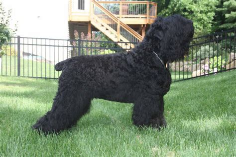 russian puppies black russian dogs black russian terrier breeder eagan minnesota