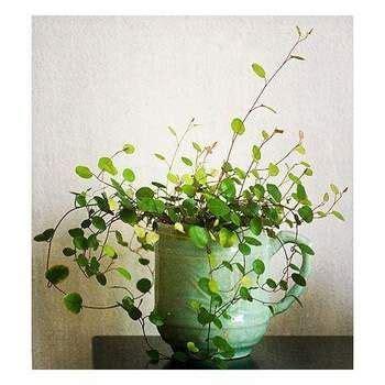 wire vine plants    images trees  plant