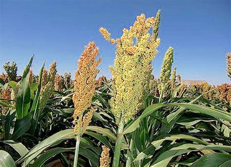 Sorghum Plant Images