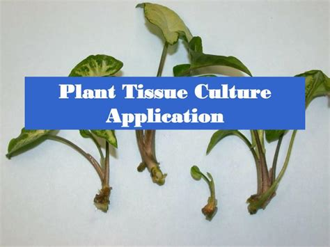plant tissue culture development and biotechnology books ppt plant tissue culture application powerpoint
