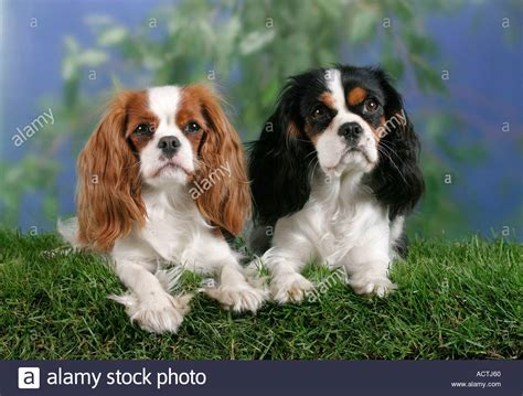 blenheim color cavalier king charles spaniel blenheim and tricolor