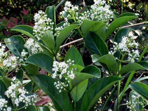 evergreen shrub with white flowers 67 best images about evergreen shrubs trees ect on