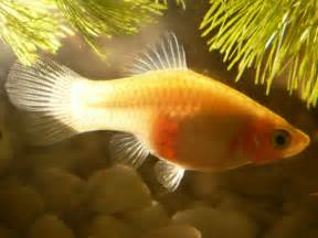 Pregnant  Stages My platy momma gave birth to