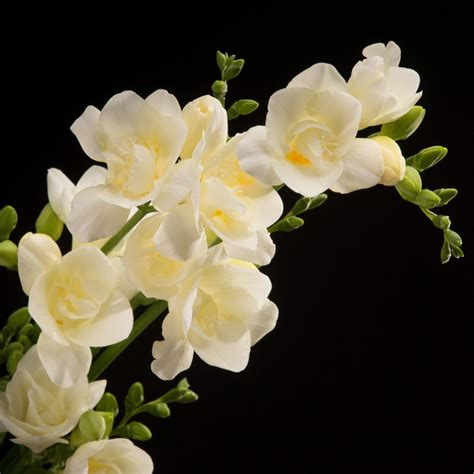 fresia bloemen s freesia oregon wit bloemen 01425 certi certi