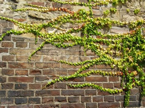 ivy growing on the wall stock photo colourbox
