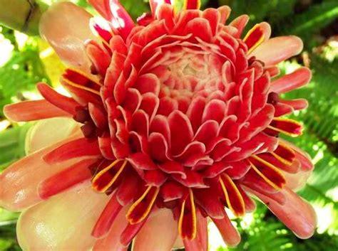 la flor de dalia laberinto el lenguaje de las flores