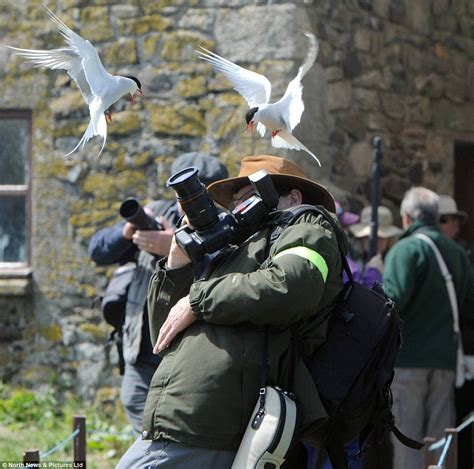 dive bombed visitors attacked by thousands of terns