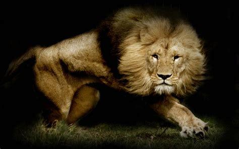 imagenes de leones full hd le 243 n full hd fondo de pantalla and fondo de escritorio