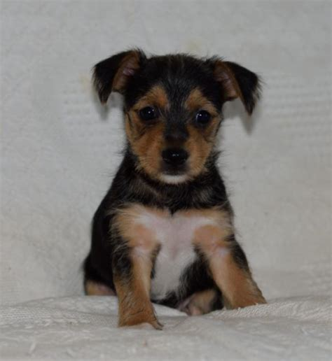 pomeranian fox terrier mix puppies for sale terrier mix puppies www imgkid the image kid has it