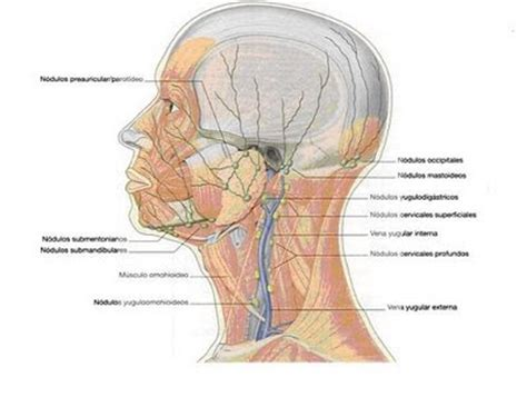 cadenas ganglionares de cabeza y cuello la vida del deportista vasos linfaticos de la cabeza